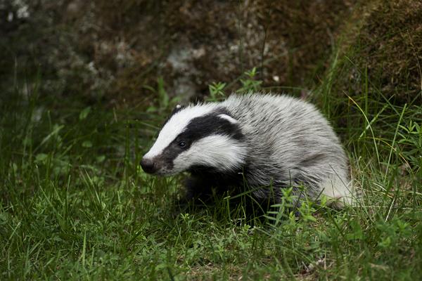 badger, badger
